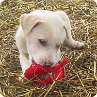 Adopt A Pet :: Creamy Christmas Boy - Godley, TX