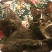 Adopt A Pet :: lap cat lovers - Whitestone, NY