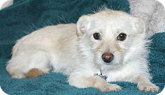 Terrier (Unknown Type, Small)/Norfolk Terrier Mix Dog for adoption in Bellflower, California - Emmy-lu