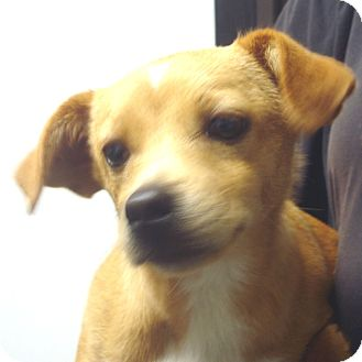 Jack Russell Terrier/Feist Mix Dog for adoption in baltimore, Maryland - Kirk