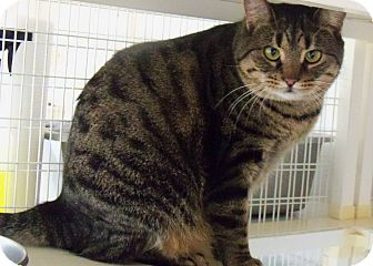 Domestic Shorthair Cat for adoption in Shelby, North Carolina - Sonic
