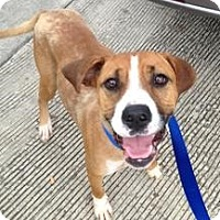 Adopt A Pet :: Havanna - Laingsburg, MI