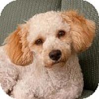 Adopt A Pet :: Paddington - La Costa, CA