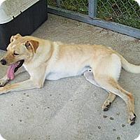 Adopt A Pet :: Doodle - Manning, SC