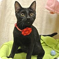 Adopt A Pet :: Felix - Foothill Ranch, CA