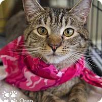 Adopt A Pet :: Oreo - Merrifield, VA