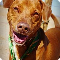 Adopt A Pet :: Rusty - Casa Grande, AZ