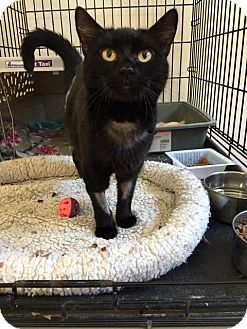 Domestic Shorthair Cat for adoption in Alpharetta, Georgia - Katana