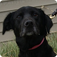 Labrador Retriever/Australian Shepherd Mix Dog for adoption in Monroe, Michigan - Domino