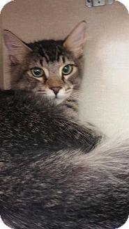 Domestic Mediumhair Kitten for adoption in Walnut Creek, California - Sylvester