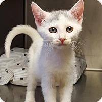 Domestic Shorthair Kitten for adoption in Lago Vista, Texas - Benjamin