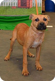 Black Mouth Cur Mix Dog for adoption in Arlington, Massachusetts - Trixie (URGENT)