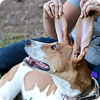 Foxhound Dog for adoption in Monroe, North Carolina - Biscuit
