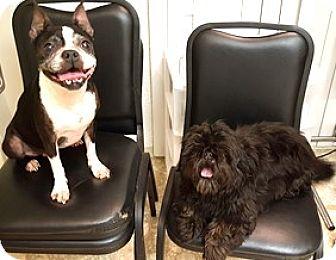 Shih Tzu Dog for adoption in Bloomington, Illinois - Molly and Dani