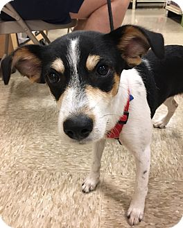 Terrier (Unknown Type, Small) Mix Puppy for adoption in San Leon, Texas - Sabrina