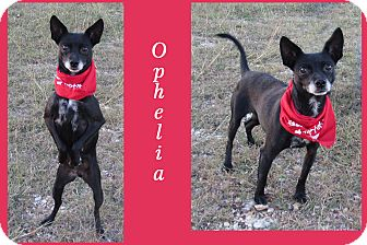 Chihuahua/Rat Terrier Mix Dog for adoption in Hillsboro, Texas - Ophelia