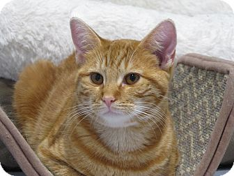 Domestic Shorthair Cat for adoption in Lafayette, New Jersey - Michelle