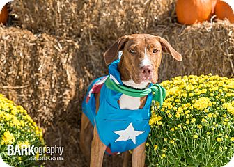 Hound (Unknown Type)/American Staffordshire Terrier Mix Dog for adoption in Waxhaw, North Carolina - Jonathan