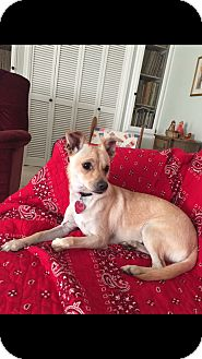 Chihuahua/Terrier (Unknown Type, Medium) Mix Dog for adoption in oklahoma city, Oklahoma - Daisy