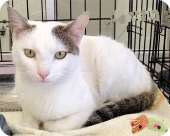 Domestic Shorthair Kitten for adoption in Merrifield, Virginia - Mondragon