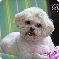 Adopt A Pet :: Buffy - Albany, NY