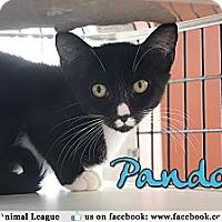 Adopt A Pet :: Pandora - Bradenton, FL