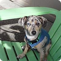 Adopt A Pet :: OSCAR MURPHY - Portland, OR