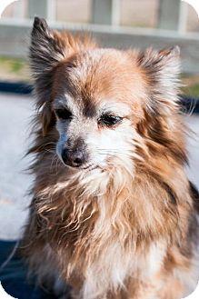 Pomeranian Dog for adoption in Lancaster, California - Elmo