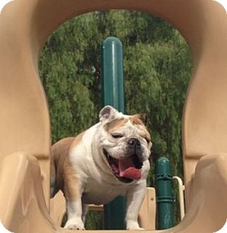 English Bulldog Dog for adoption in Santa Ana, California - Mr. Wilson