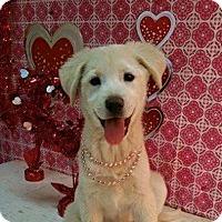 Adopt A Pet :: Saylor - Stamford, CT