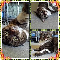 Domestic Shorthair Cat for adoption in Cedar Springs, Michigan - Pepper