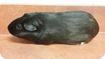 Guinea Pig for adoption in South Bend, Indiana - Buttercup