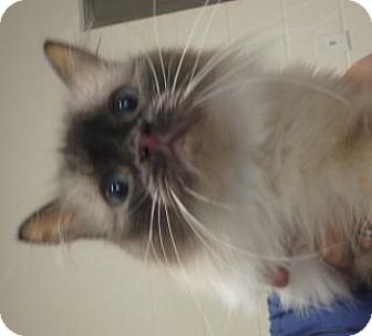 Persian Cat for adoption in Apple Valley, California - Thelma #157855