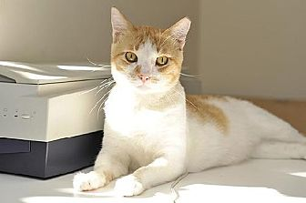 Domestic Shorthair Cat for adoption in Santa Monica, California - Oliver Stone