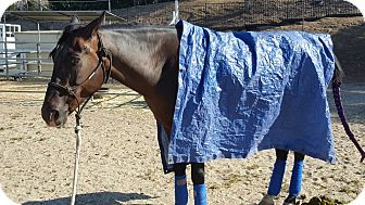 Appendix/Quarterhorse Mix for adoption in Simi Valley, California - Toby