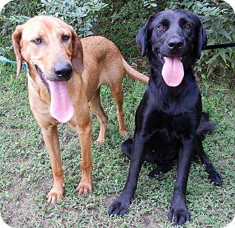 Labrador Retriever/Hound (Unknown Type) Mix Dog for adoption in Westport, Connecticut - Buffy & Muffy