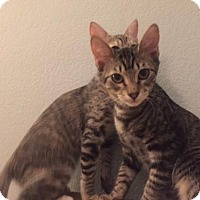 Domestic Shorthair Kitten for adoption in Glendale, Arizona - Baxter