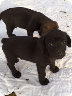 Dachshund Mix Puppy for adoption in Monroe, North Carolina - Stubs