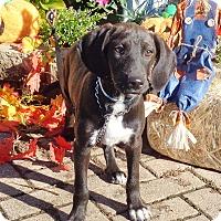 Adopt A Pet :: Vedetta - West Chicago, IL