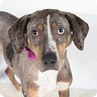Catahoula Leopard Dog Dog for adoption in St. Louis Park, Minnesota - Isabel