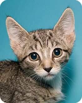 Domestic Shorthair Kitten for adoption in Jersey City, New Jersey - Latte