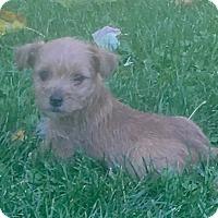 Adopt A Pet :: Mandy - Petersburg, OH