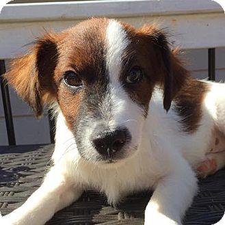 Collie Mix Puppy for adoption in CUMMING, Georgia - Miles