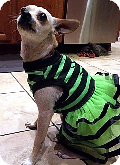 Chihuahua/Terrier (Unknown Type, Small) Mix Dog for adoption in Tijeras, New Mexico - JoJo