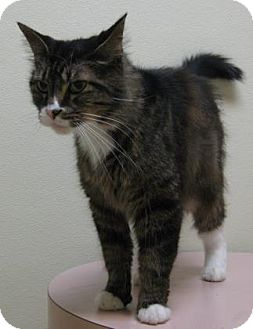 Domestic Mediumhair Cat for adoption in Gary, Indiana - D arby