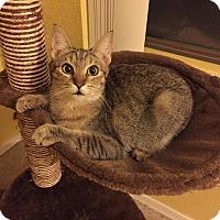 Adopt A Pet :: Kismet - Chandler, AZ