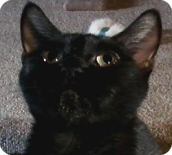 Domestic Shorthair Cat for adoption in Lancaster, Pennsylvania - Felicia