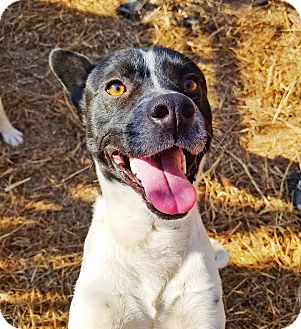 Terrier (Unknown Type, Medium)/Australian Cattle Dog Mix Dog for adoption in Kingston, Tennessee - Jackson