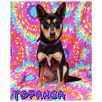 Australian Kelpie Mix Puppy for adoption in Charlotte, North Carolina - Topanga