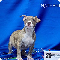 Adopt A Pet :: Nathaniel - DeForest, WI